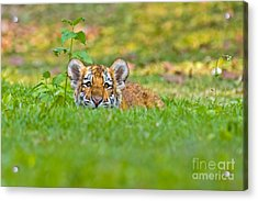 Sizing Up The Situation Acrylic Print by Ashley Vincent