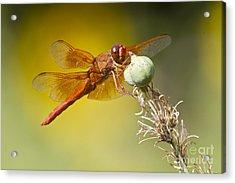 Skimmer Hanging Around Acrylic Print by Bryan Keil