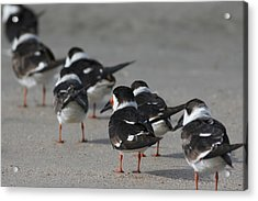 Skimmers On Parade Acrylic Print