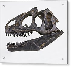 Skull Of Allosaurus Acrylic Print by Dorling Kindersley/uig