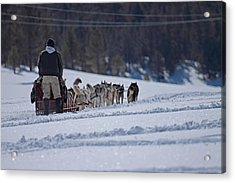 Acrylic Print featuring the photograph Sled Dog  by Duncan Selby