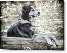 Acrylic Print featuring the photograph Tuya - Sled Dog Of Denali by Dyle   Warren
