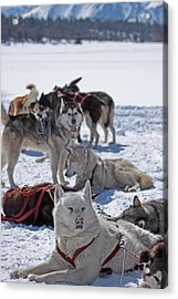 Acrylic Print featuring the photograph Sled Dogs by Duncan Selby