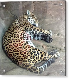 Sleep Time Jaguar Acrylic Print by Gary Govett