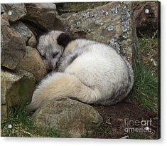 Sleeping Arctic Fox Acrylic Print