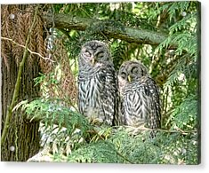 Sleeping Barred Owlets Acrylic Print by Jennie Marie Schell