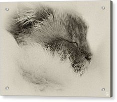 Sleeping Birma Acrylic Print by Gun Legler