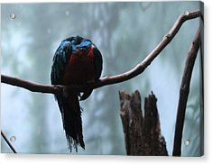 Sleeping Blue Bird Acrylic Print