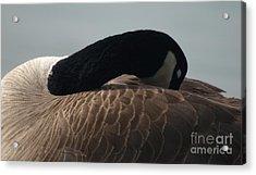 Sleeping Canada Goose Acrylic Print