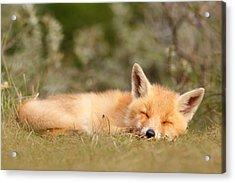 Sleeping Cuty _ Red Fox Kit Acrylic Print