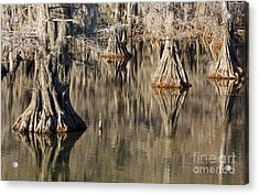 Sleeping Cypress Acrylic Print