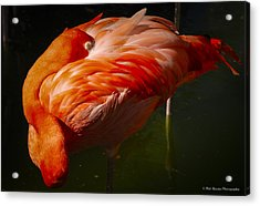 Acrylic Print featuring the photograph Sleeping Flamingo by Phil Abrams