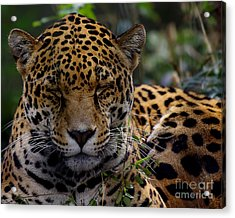 Sleeping Jaguar Acrylic Print