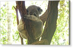 Sleeping Koala In Tree Acrylic Print