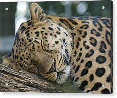 Sleeping Leopard Acrylic Print by Chris Boulton