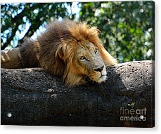 Acrylic Print featuring the photograph Thinking Lion by Lisa L Silva
