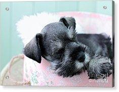 Sleeping Mini Schnauzer Acrylic Print by Stephanie Frey
