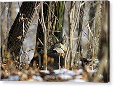 Sleeping Roe Deer Acrylic Print by Dragomir Felix-bogdan