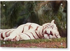Sleeping White Snow Tiger Acrylic Print by Belinda Lee
