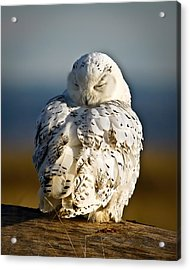 Sleeping Snowy Owl Acrylic Print