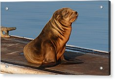 Acrylic Print featuring the photograph Sleeping Wild Sea Lion Pup  by Christy Pooschke