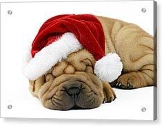 Sleeping Xmas Pup Acrylic Print by Greg Cuddiford