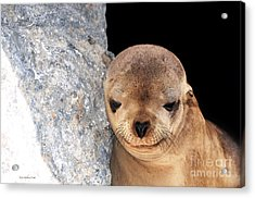 Acrylic Print featuring the photograph Sleepy Baby Sea Lion by Susan Wiedmann