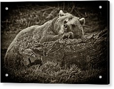Sleepy Bear Acrylic Print by Chris Boulton