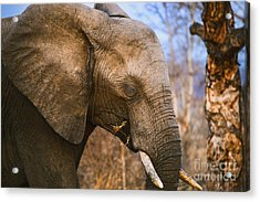 Sleepy Eye Acrylic Print by Rick Bragan