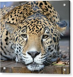 Sleepy Jaguar Acrylic Print by Richard Bryce and Family