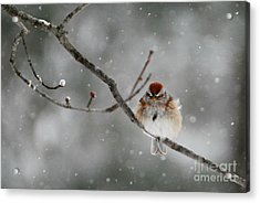 Sleepy Little Sparrow Acrylic Print
