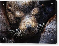 Sleepyhead Sea Lion Acrylic Print by Mark Kiver