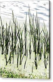 Slender Reeds Acrylic Print