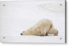 Sliding Bear Acrylic Print