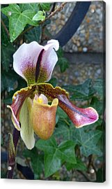 Acrylic Print featuring the photograph Slipper Orchid by Cindy McDaniel