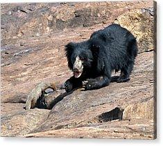 Sloth Bear And Mongoose Acrylic Print