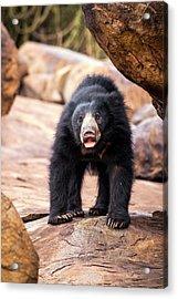 Sloth Bear Acrylic Print by Paul Williams