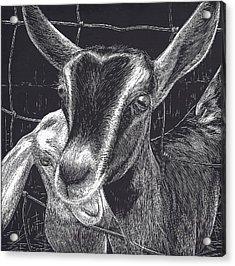 Slow Turtle Farm Goats Acrylic Print by Jennifer Harper