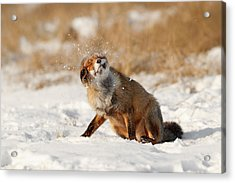 Slush Puppy Red Fox In The Snow Acrylic Print by Roeselien Raimond