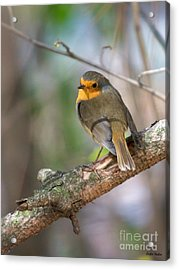 Small Bird Robin Acrylic Print