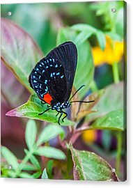 Small Black With Blue Spots Acrylic Print by Karen Stephenson