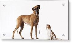 Small Dog Looking At Bigger Dog Acrylic Print by Martin Barraud