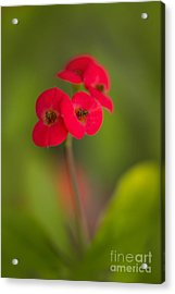 Small Red Flowers With Blurry Background Acrylic Print