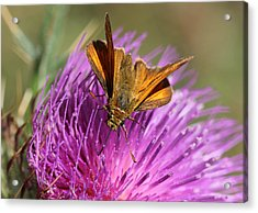 Acrylic Print featuring the photograph Small Skipper - Thymelicus Sylvestris by Jivko Nakev