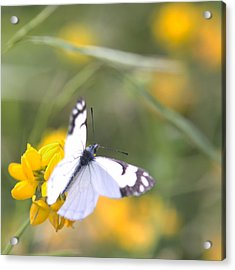 Small White Butterfly On Yellow Flower Acrylic Print by Belinda Greb