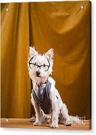 Small White Dog Wearing Glasses And Vest Acrylic Print by Edward Fielding