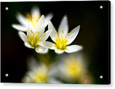 Acrylic Print featuring the photograph Small White Flowers by Darryl Dalton