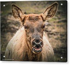 Smiling Elk Acrylic Print by LeeAnn McLaneGoetz McLaneGoetzStudioLLCcom
