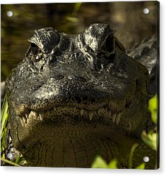 Smiling Gator Acrylic Print