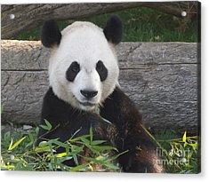 Smiling Giant Panda Acrylic Print
